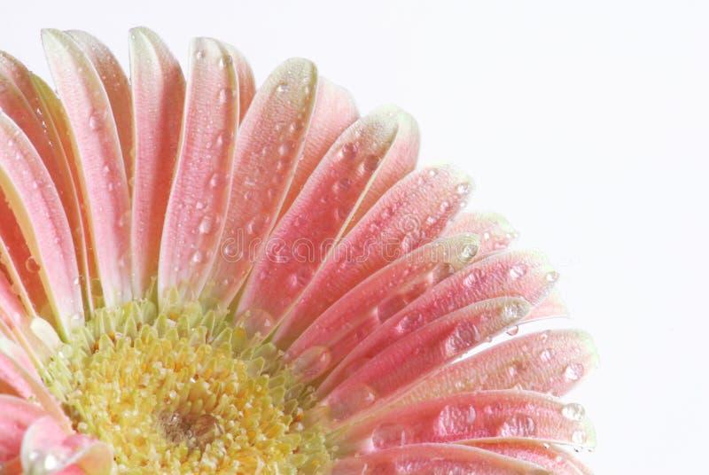gerber różowy zdjęcie royalty free