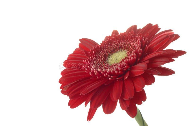 Download Gerber rojo imagen de archivo. Imagen de frescura, belleza - 7277617