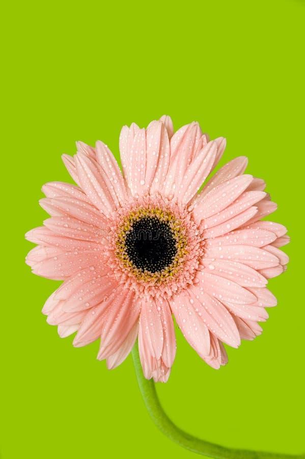 Download Gerber rose image stock. Image du baisses, details, jardin - 4350007
