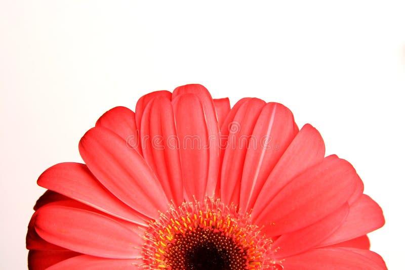 Gerber rosso immagini stock libere da diritti