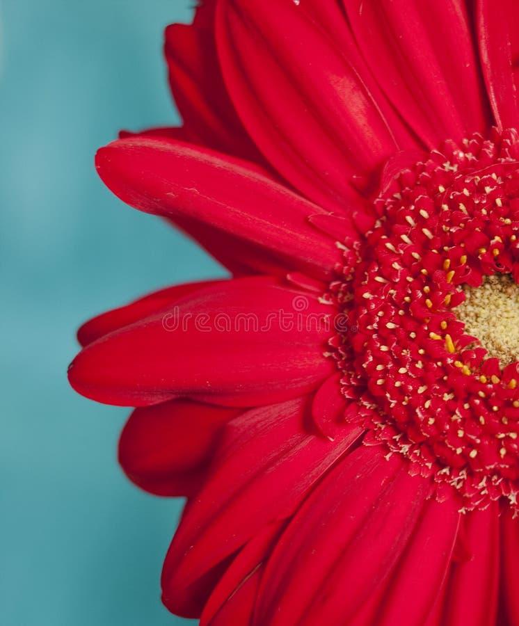 Gerber rosso del fiore immagini stock