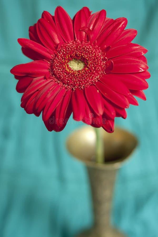 Gerber rosso del fiore nel vaso fotografie stock libere da diritti