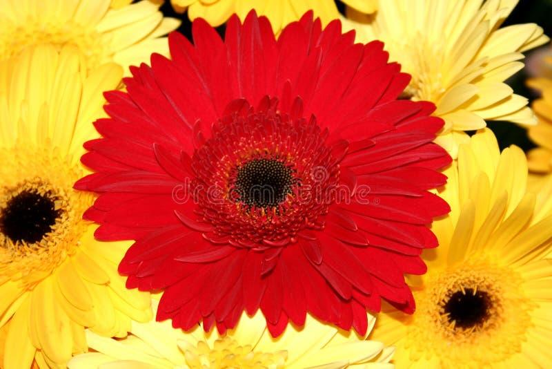 Download Gerber3 stock photo. Image of botanical, aromatic, closeups - 176700