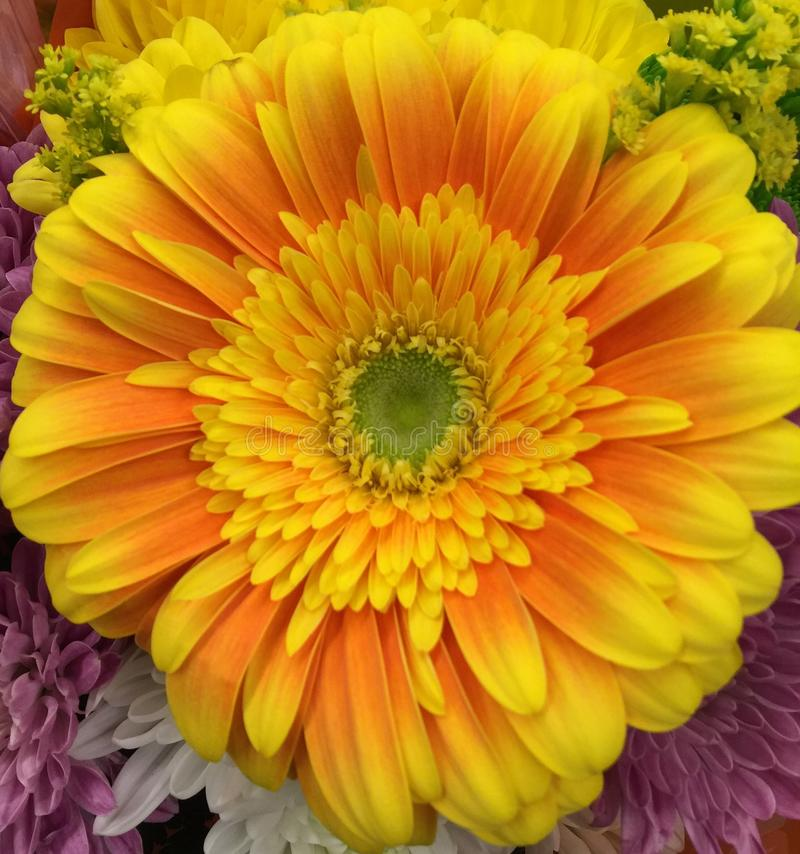 gerbera εστίασης λουλουδιών μαργαριτών πρώτο στοκ εικόνες