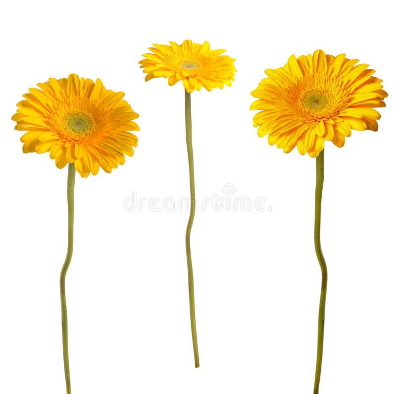 Gerbera κίτρινο