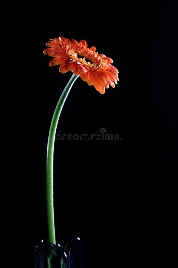 gerbera λουλουδιών μαργαριτών στοκ εικόνες με δικαίωμα ελεύθερης χρήσης