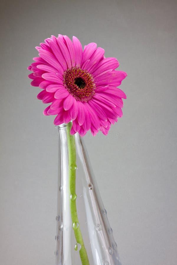 gerbera цветка стоковые фотографии rf