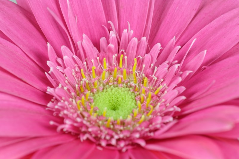 Gerbera - royalty free stock images
