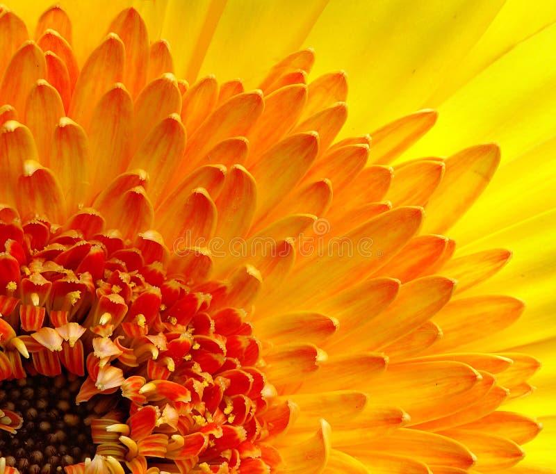 The Gerbera. Beautiful bloom of Gerbera flower royalty free stock photos