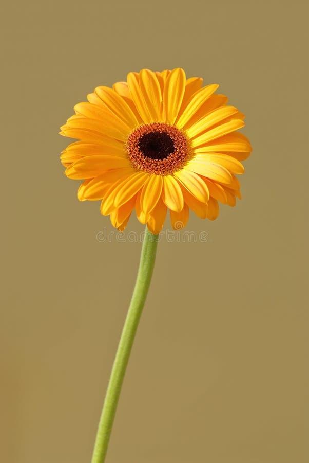 Gerbera. Single beautiful gerbera, macro image stock photo