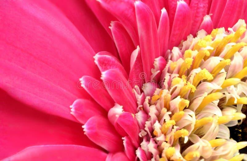 Gerbera4_10 foto de archivo libre de regalías