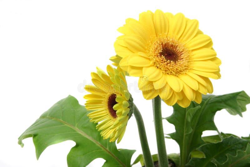 Download Gerbera photo stock. Image du houseplant, beau, pétale - 732214