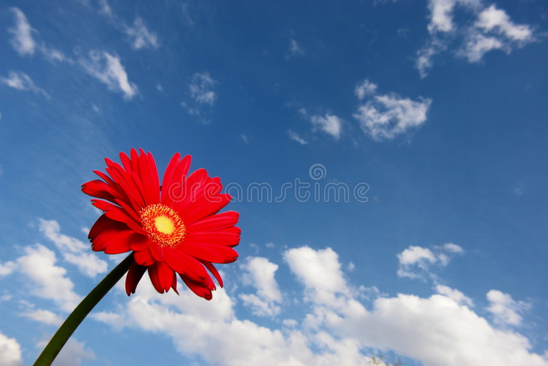Download Gerbera fotografering för bildbyråer. Bild av nytt, växt - 975545