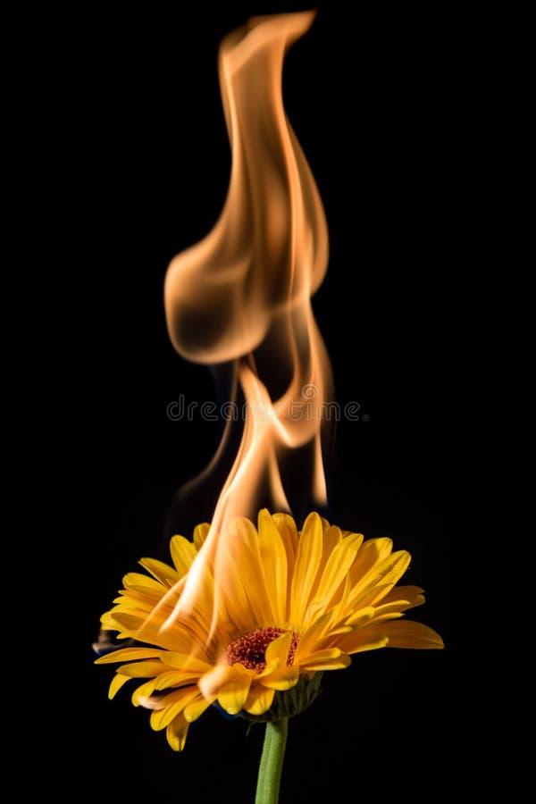 Gerbera amarelo no fogo fotografia de stock