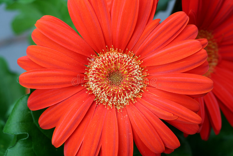 Gerbera anaranjado imagen de archivo