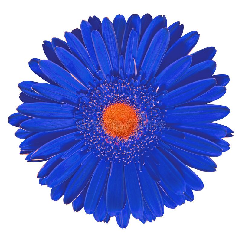 Gerbera anaranjado azul de la flor interior aislado en el fondo blanco Primer Macro Elemento del diseño fotografía de archivo