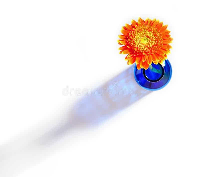 Gerbera anaranjado en florero azul en el fondo blanco fotografía de archivo