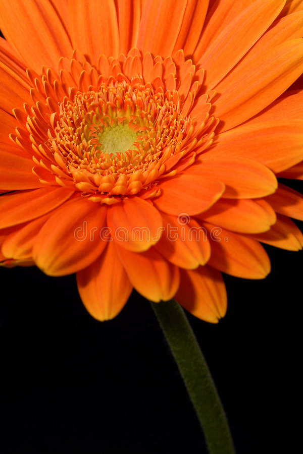 Gerbera arancione fotografie stock