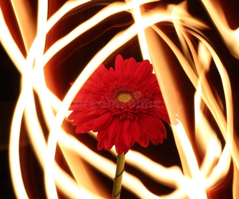 Gerbera auf Feuer, Blume von Feuerlinien lizenzfreies stockfoto