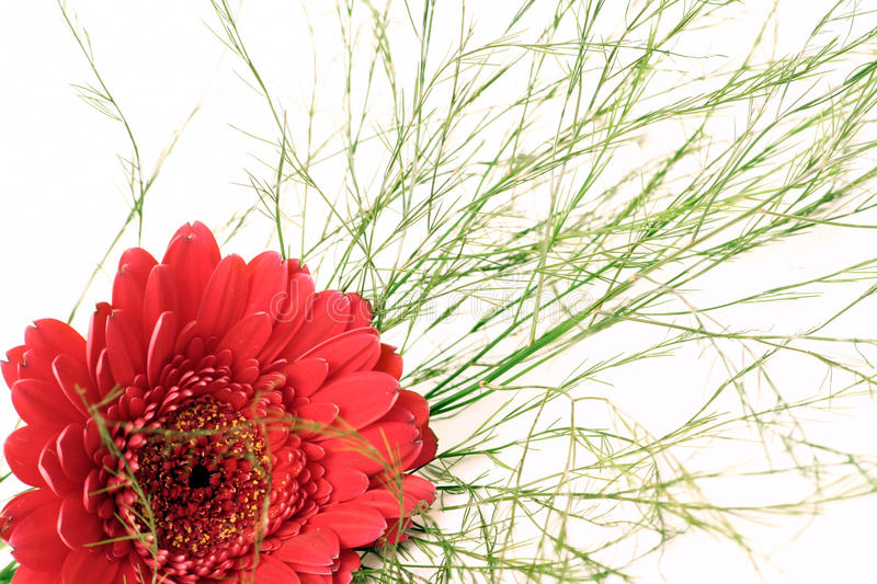 Gerbera with baby's breath stock image
