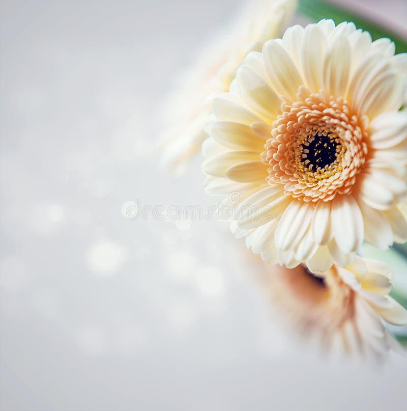 Gerbera background stock image
