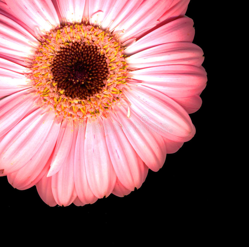 Beautiful Bright Pink Gerbera Flowers Stock Photography