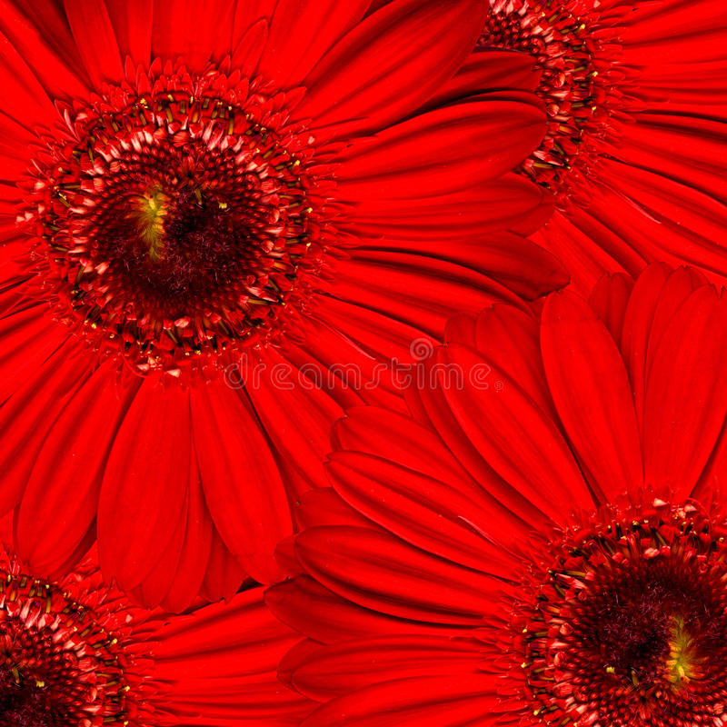 Beautiful Bright Red Gerbera Flowers Stock Photo