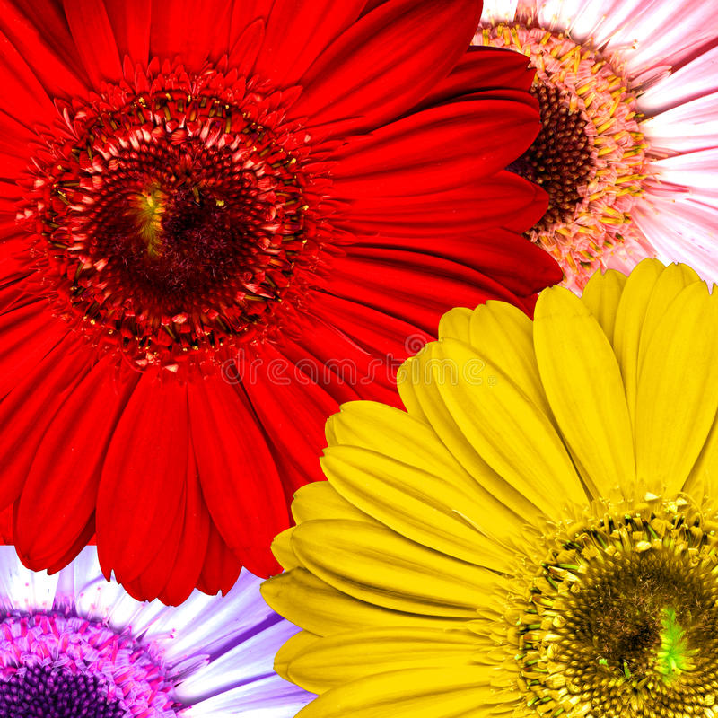 Download Beautiful Bright Red, Purple, Yellow And Pink Gerb Stock Photo - Image of detail, blooming: 32729030