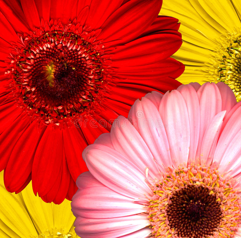 Download Beautiful Bright Red, Yellow And Pink Gerbera Flow Stock Photo - Image of blooming, botanical: 32729032