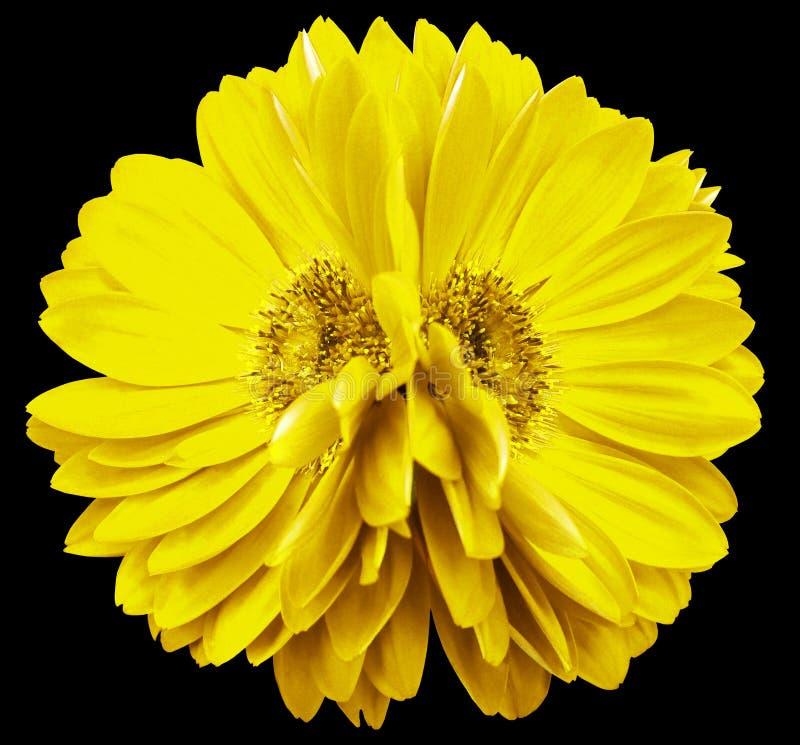Gerbera blüht Gelb nahaufnahme schöne Blume zwei Schwarzer Hintergrund stockfoto