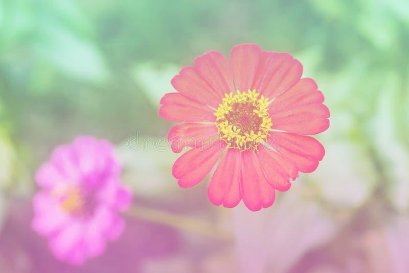 Gerbera, Bloem zoete kleur stock afbeeldingen