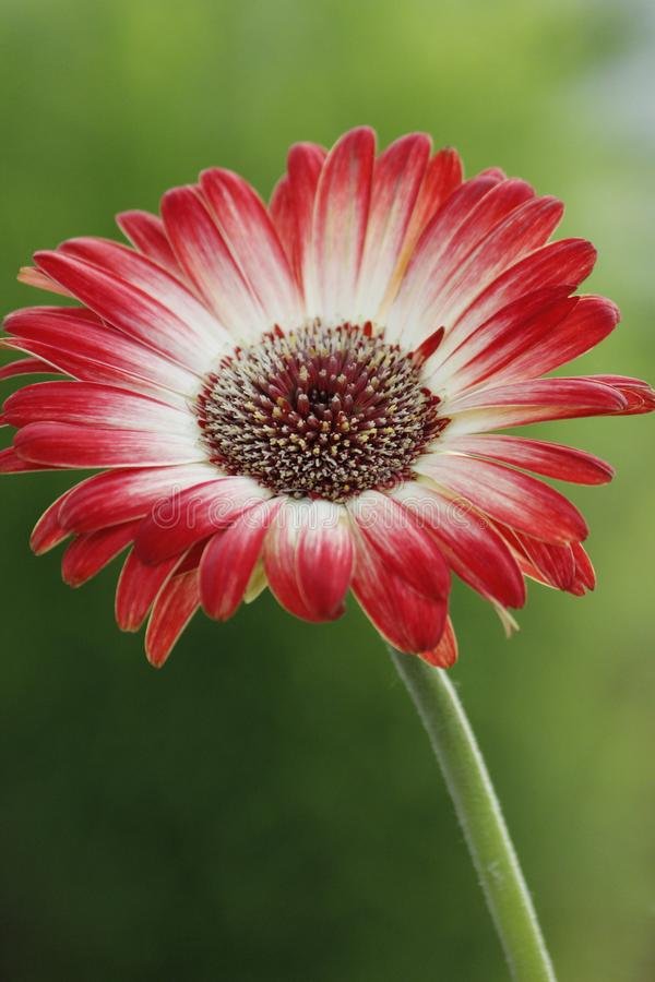 Gerbera bonito Daisy Flower imagem de stock