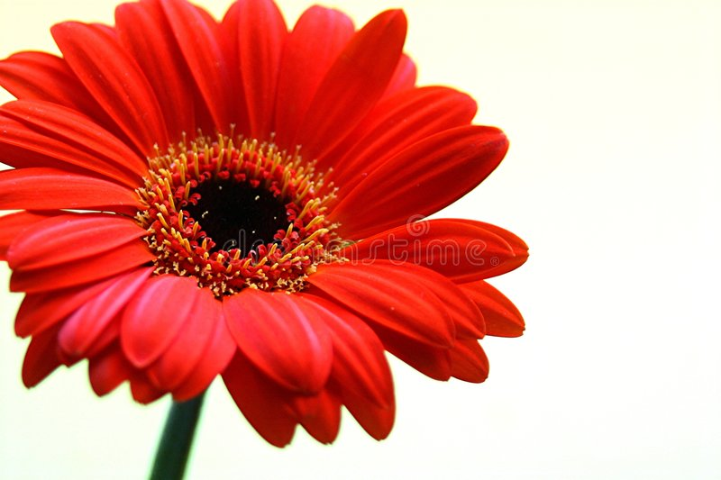 Download Gerbera with copy space stock photo. Image of lovely, botany - 301852