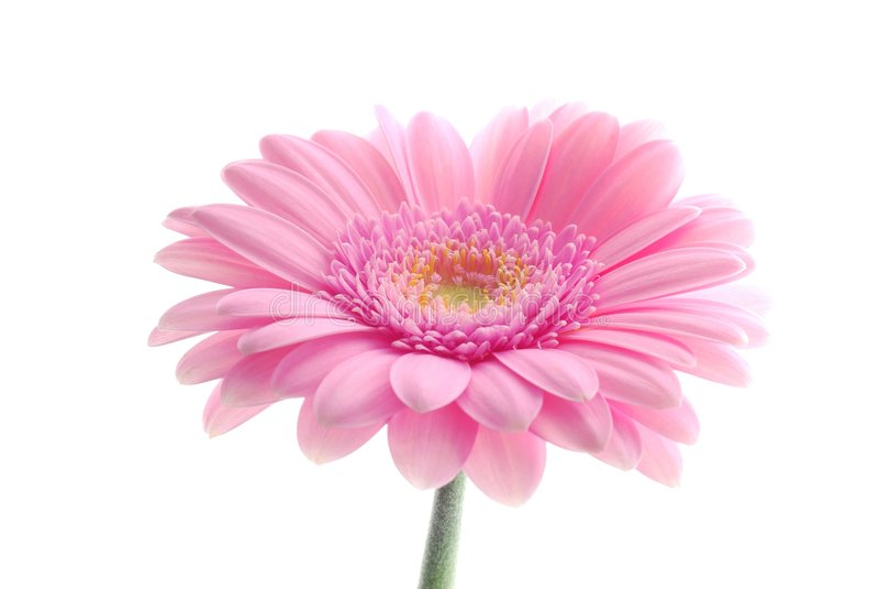 Gerbera cor-de-rosa imagem de stock royalty free