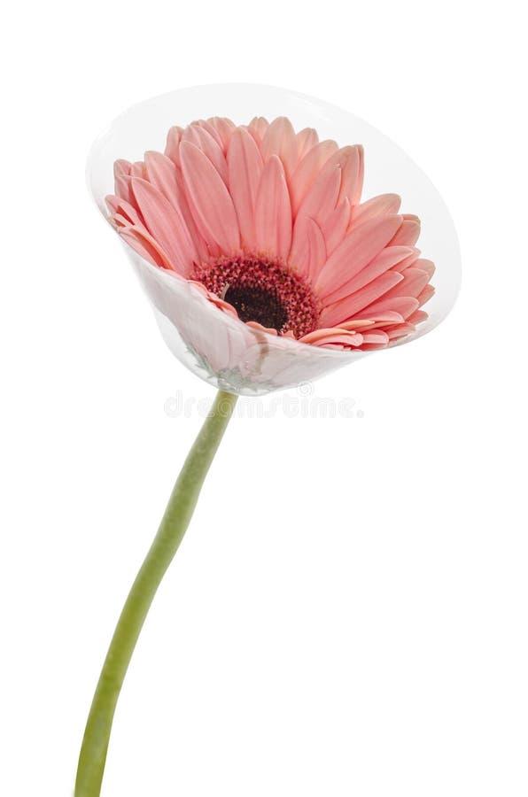 Gerbera cor-de-rosa na flor completa bonita, no branco: Trajeto de grampeamento incluído imagens de stock