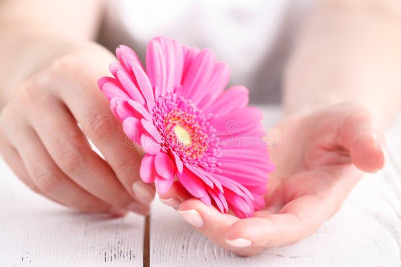 Gerbera cor-de-rosa nas mãos fêmeas, fim da flor acima do conceito fêmea do cuidado da vista fotos de stock