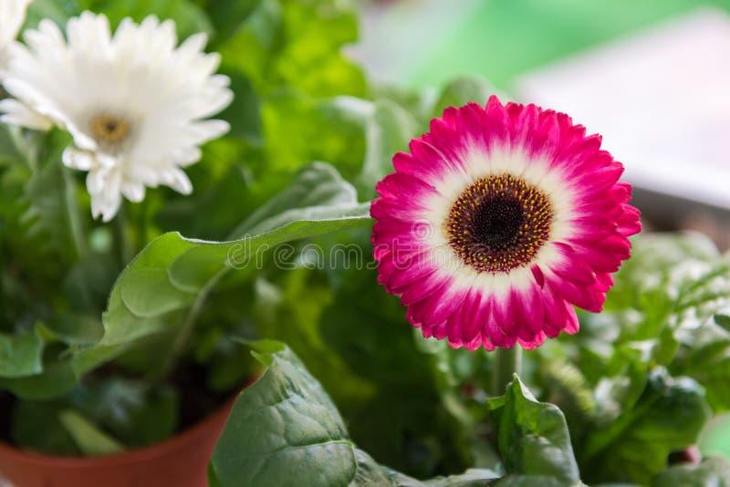 gerbera czerwone kwiaty zdjęcie royalty free