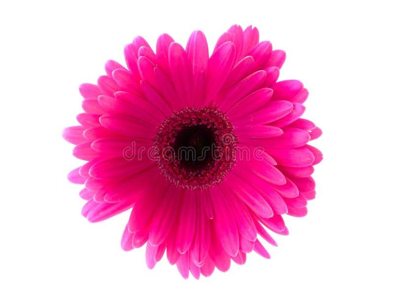 Gerbera da flor. fotografia de stock royalty free