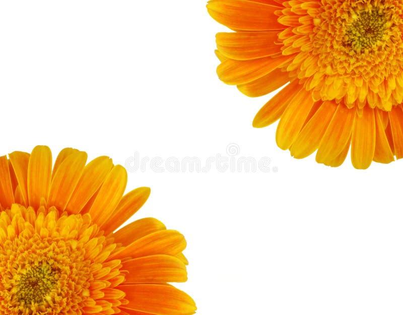 Gerbera daisies stock image