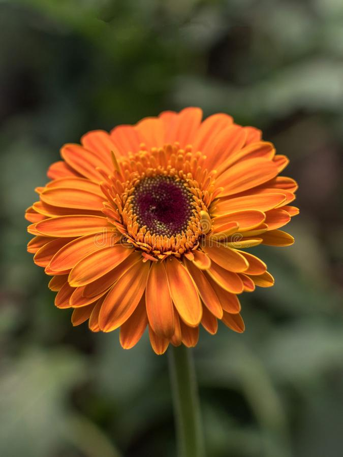 Gerbera daisies Gerbera jamesonii are commonly grown for their bright and cheerful daisy-like flowers.  stock photography