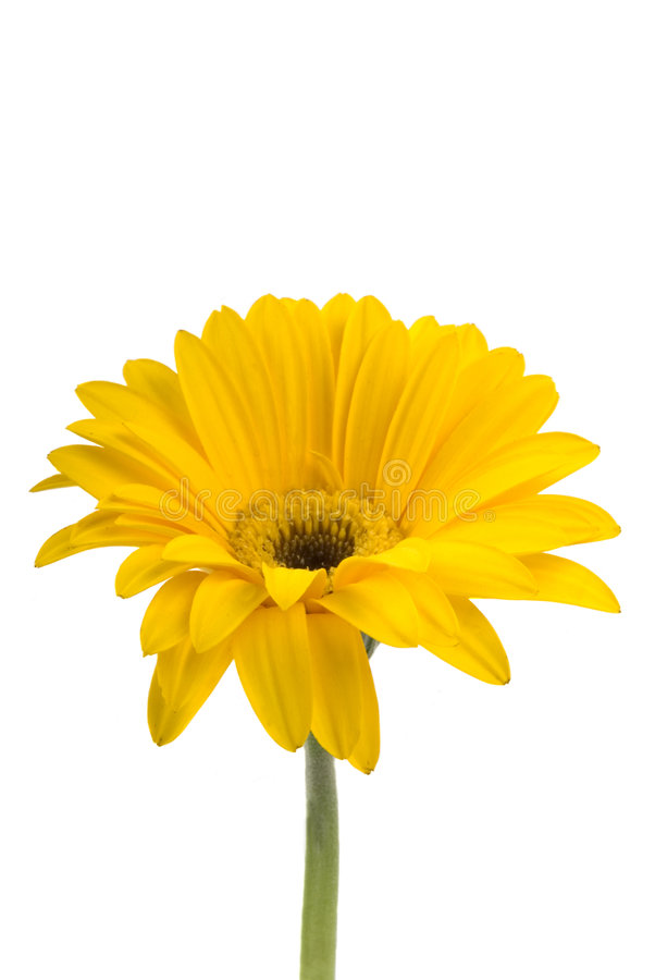 Gerbera Daisy royalty free stock photos