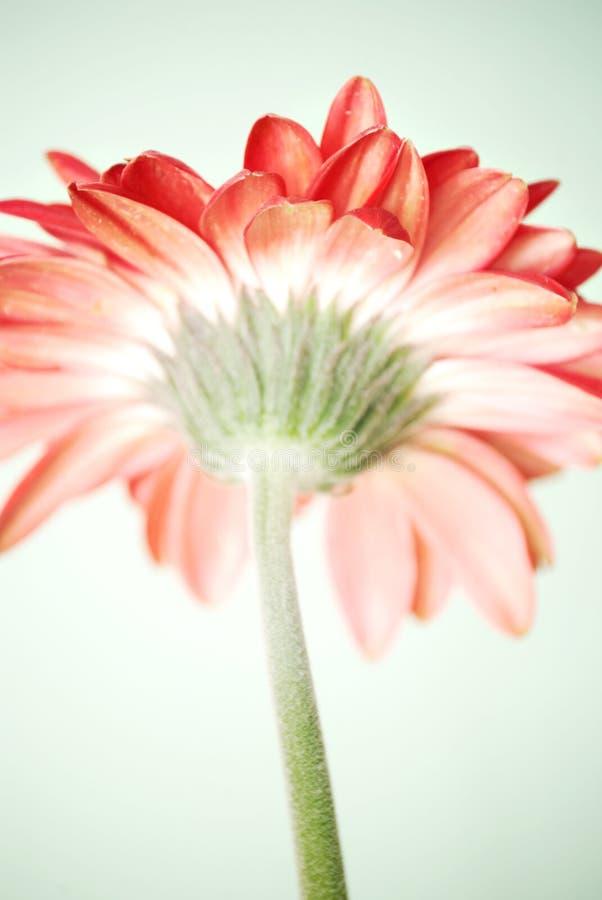 Gerbera daisy stock photo