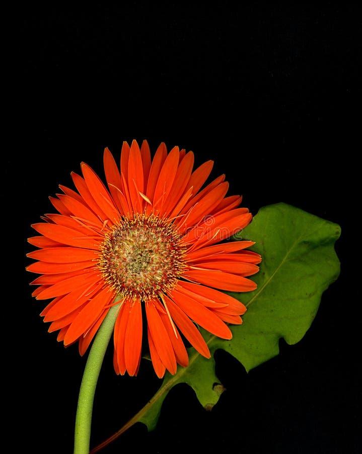 Gerbera Daisy stock foto