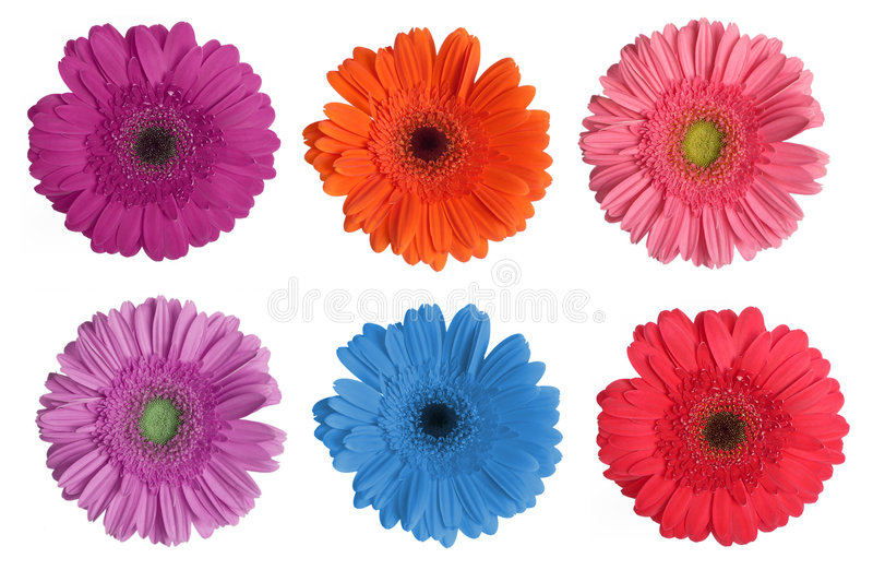 Gerbera Daisy stock photos