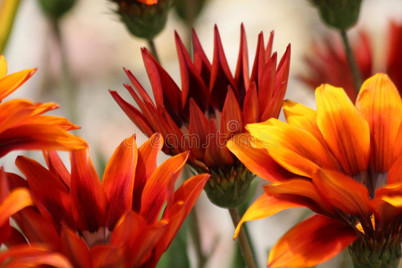 Gerbera Daisy. Bulk Orange Gerbera Daisy Flowers have colorful daisy heads that are nearly flawless in form. Our Gerberas are known for their award winning stock image