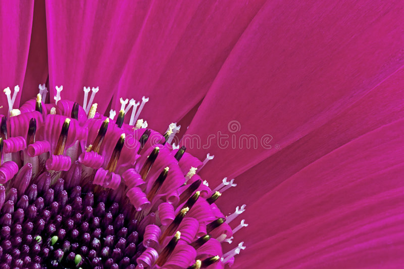 Download Gerbera Daisy Closeup stock image. Image of gerbera, intricate - 6169475