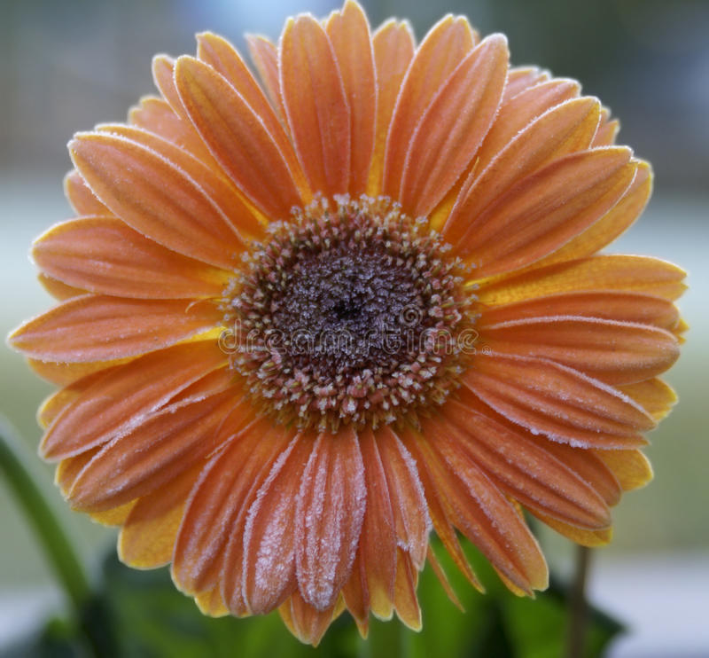Gerbera daisy covered in frost stock images