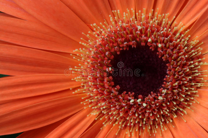 Gerbera Daisy Flower, macro stock images