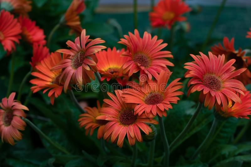 Gerbera Daisy on green background. Red flowers in the garden. Orange chamomile flower. Spring bouquet. Garden flowers. Floral summ stock photography