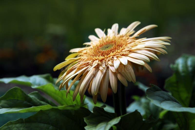 Gerbera Daisy op Natuurlijke Achtergrond stock foto's